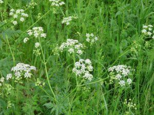 Wild Chervil bloom
