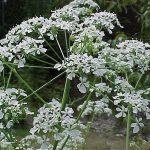 Wild Chervil flower